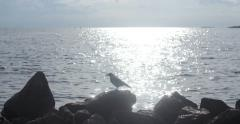 Raven at sunset jumping on the rocks by the sea. Stock Footage