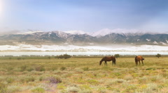Wild horses grazing on the meadow at the foot of snow-covered mountains Stock Footage