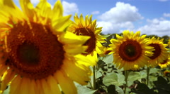 Sunflowers, sunny  day, blue sky Stock Footage