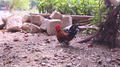Many-colored cock runs on ground against river in Vietnam Stock Footage