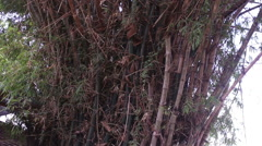 Large bamboo bush on river bank in Vietnam Stock Footage