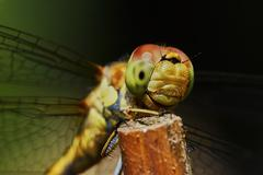 Portrait of a dragonfly - stock photo