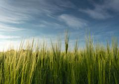 Green grass, crop, wheat against the sky Stock Photos