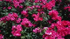 Vibrant pink flowering rose bush - stock footage