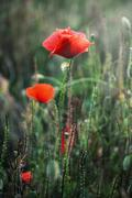 Red corn poppy flowers Stock Photos