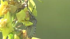 Pentatomidae beetle Shield bugs, snail shell, macro, insect - stock footage