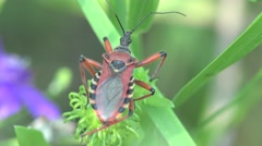 Red yellow Beetle Platymeris  sitting on green leaf, macro, bug, insect, 4k Stock Footage