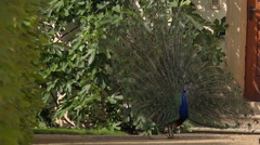 Peacock with Feathers Out Dancing in Garden Stock Footage