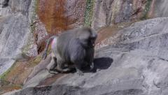 Huge male hamadryas baboon walking in steep mountain slope Stock Footage