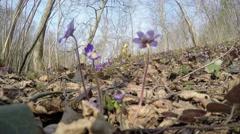 Beautiful springtime liverworts (Hepatica nobilis) flowers. 4K Stock Footage