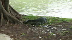 Monitor lizard eating pigeon Stock Footage