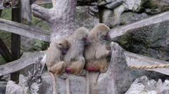 Group of hamadryas baboon monkey sitting tight together Stock Footage
