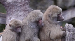 Group of hamadryas baboon monkey sitting tight together close up view Stock Footage