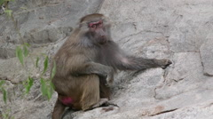 Lonely hamadryas baboon feeding in steep mountain slope Stock Footage