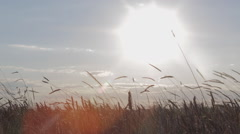 Sunset in a wheat field Stock Footage