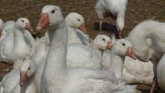 White Geese in farmyard closeup Stock Footage