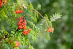 Sorbus Red Fruits - stock photo