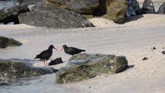 Pair of Oystercatchers feeding on some mussels that washed up Stock Footage
