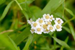 White Achillea Flower - stock photo