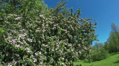 Apple tree with flowers Stock Footage