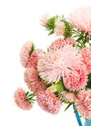 aster flowers - stock photo