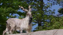 Huge male Tadjik Marchor goat standing itching fur with horns - stock footage
