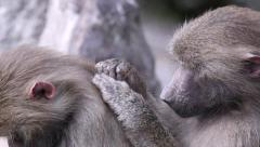 Group of hamadryas baboon monkey inspect each other fur Stock Footage