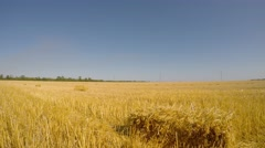 On the field after harvesting the grain is many rectangular bundles of straw. - stock footage