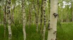 Birch tree forest in the artic circle summer Stock Footage