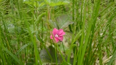 single pink wildflower in green nature - stock footage