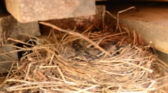 Baby sparrow birds in straw nest in early summer months in northern norway Stock Footage