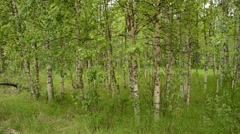 Beautiful arctic circle birch tree forest in summertime Stock Footage