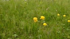 Yellow globe flowers in green grass in summer Stock Footage