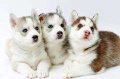 Three Husky puppy Stock Photos