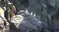 Bird colony. Islands in the Pacific Ocean. Stock Footage
