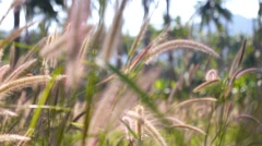 Soft Green Wheat Ears in Grass and a Rays of Sun Stock Footage