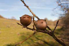 Oak Apple - stock photo