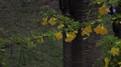 Yellow freesia flowers on overhanging wire in Rome Stock Footage