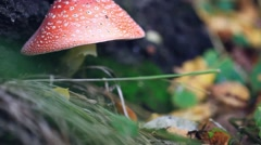 Hand mushroomer picks Amanita mushroom in the forest in autumn Stock Footage