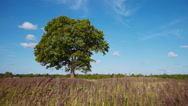Stock Video Footage of Old lonely maple on summertime
