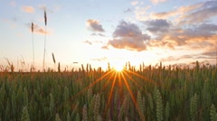 Wheat field and sunset Stock Footage