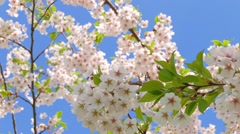 flowers of Japanese sakura against the blue sky - stock footage