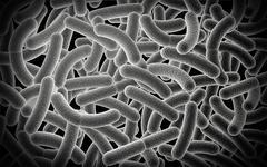 Microscopic view of Bacilli bacteria. - stock illustration