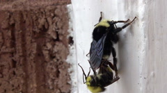 Bumble bee mating with a Drone Stock Footage