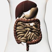 Medical illustration showing the human digestive system. - stock illustration