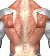 Male muscle anatomy of the human back. Stock Illustration