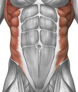 Male muscle anatomy of the abdominal wall. Stock Illustration