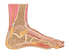 Longitudinal section of human foot in a sagittal plane. - stock illustration