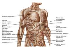 Anatomy of human abdominal muscles. Stock Illustration