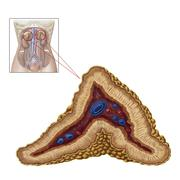 Anatomy of adrenal gland, transverse section. - stock illustration